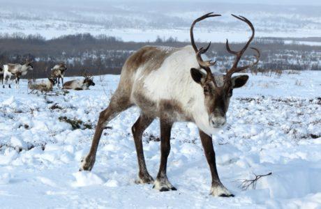 En vit och grå ren med stora horn tittar mot kameran från ett snötäckt nordligt landskap.