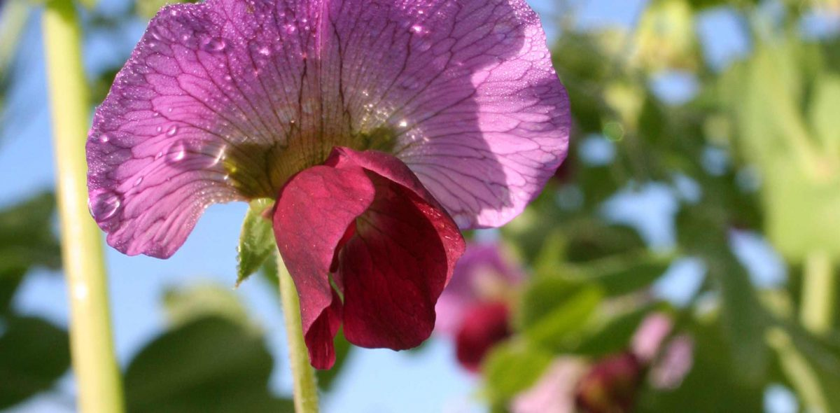 Close up on a pink and purple pea flower.