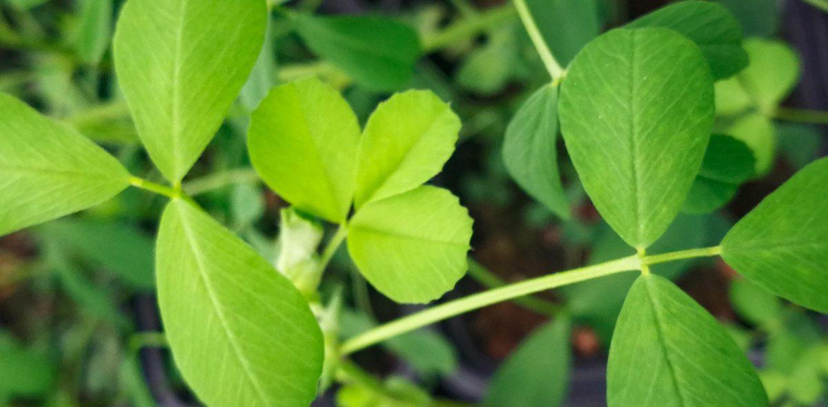 Närbild på grön alfaalfa