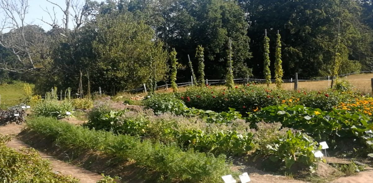 Prydliga rader av köksväxter med skog och blå himmel i bakgrunden.