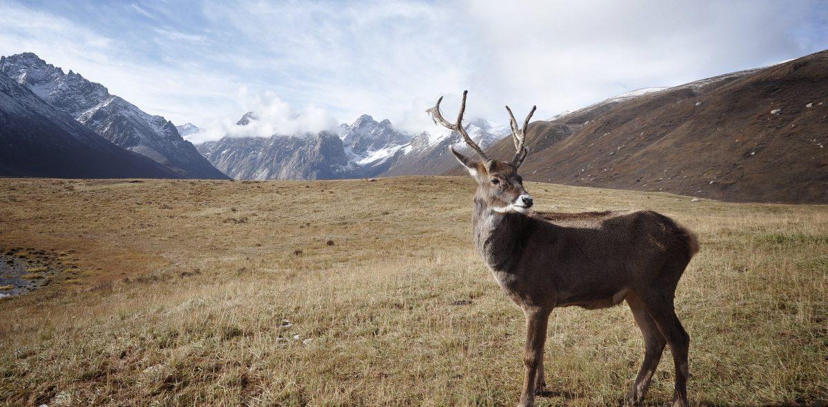 Reindeer in the Arctic region