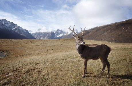 Reindeer in the Arctic region