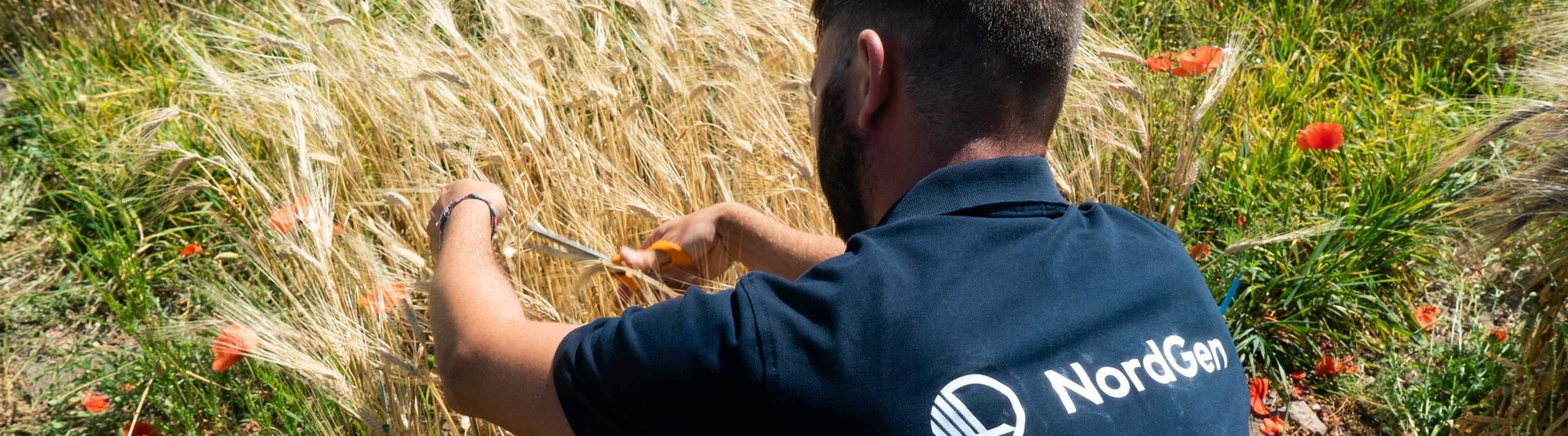 Medarbetare på NordGen klipper korn med sax på ett fält.