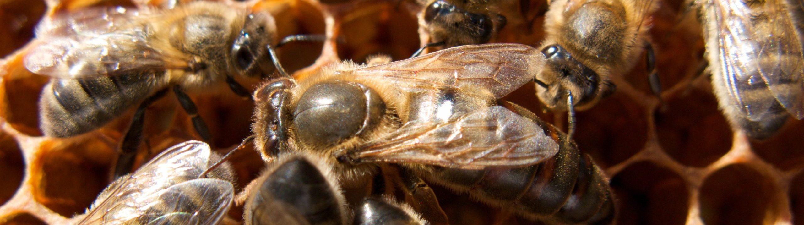 Nordic brown bees crawling around.