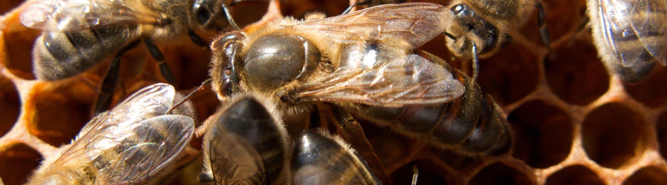 Flera bin kryper omkring på en vaxkaka.