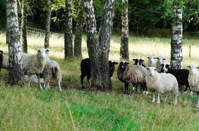 Landrace sheep hiding from the sun