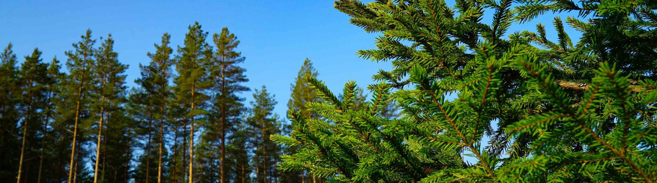 Närbild på en grankvist med höga granar i bakgrunden mot blå himmel.