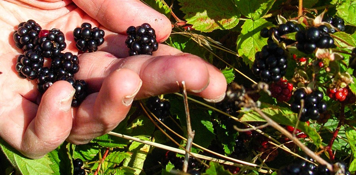 Hand gathering blackberries. Green leaves in the background.