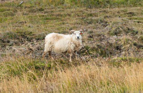 Ett vitt isländskt får tittar in i kameran mot en grön bakgrund.