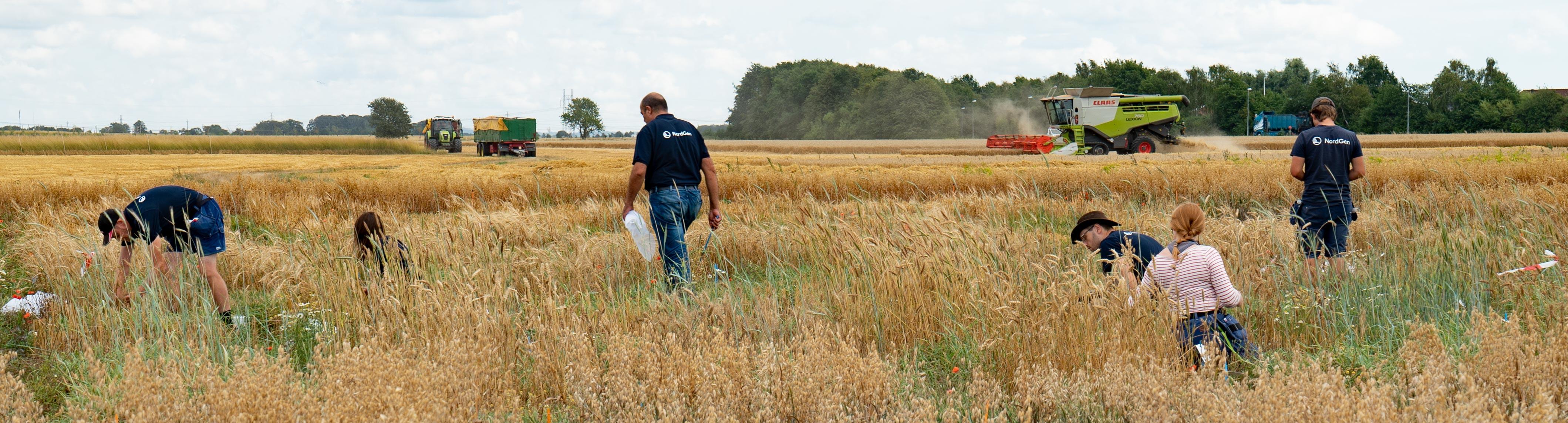 Flera personer arbetar på en åker med att samla in spannmål.