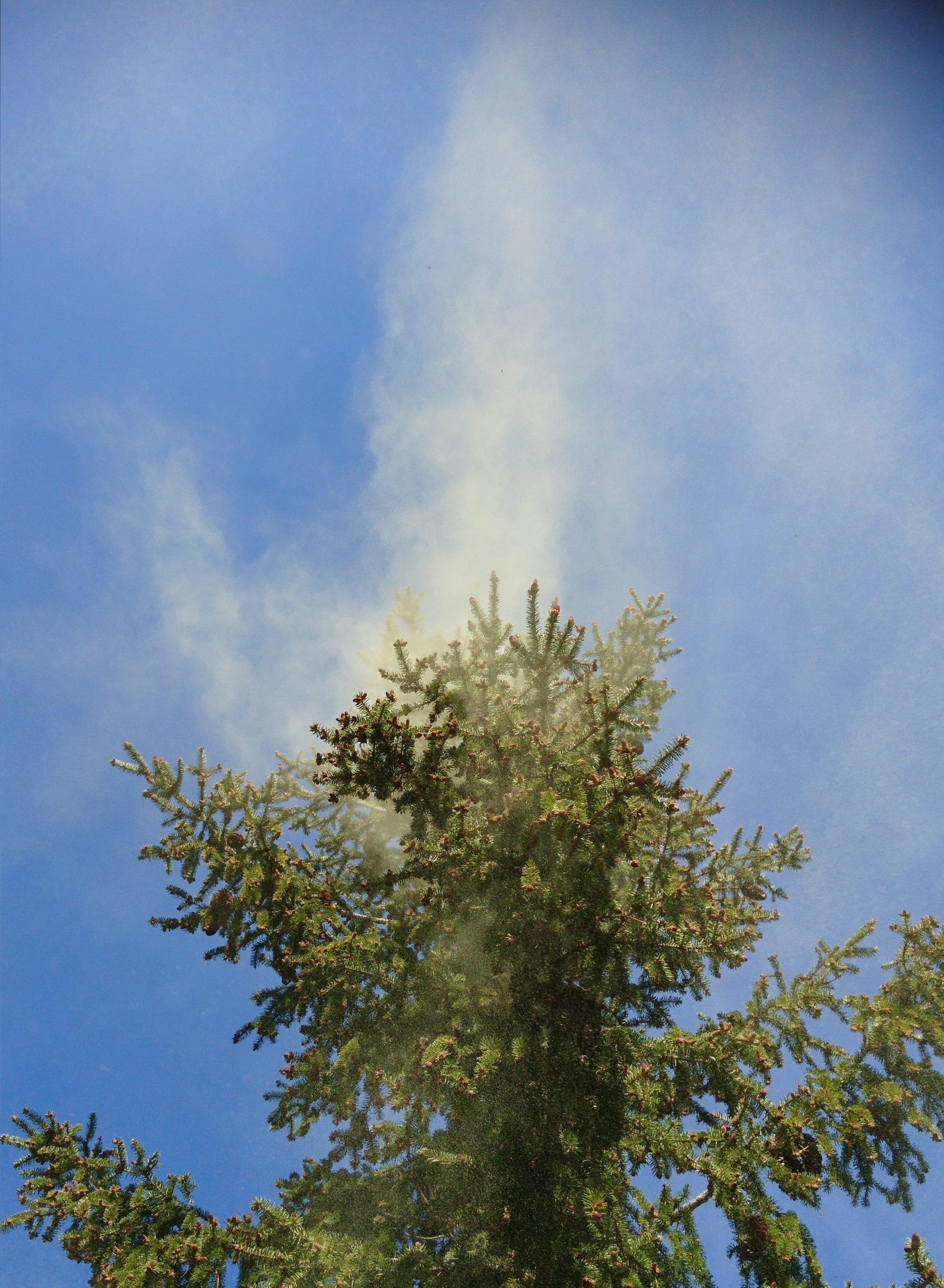 Grana er vindpollinert og når hannblomstene er modne til å sleppe pollenet vil ein kunne sjå store pollenskyer lette frå granskogen når det kjem eit vindkast. Ytst på kvistane høgare opp i treet kan ein sjå dei raude hoblomstene. Foto: Arjan Besemer, Skogfrøverekt