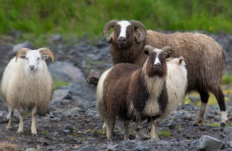 leader sheep, Iceland