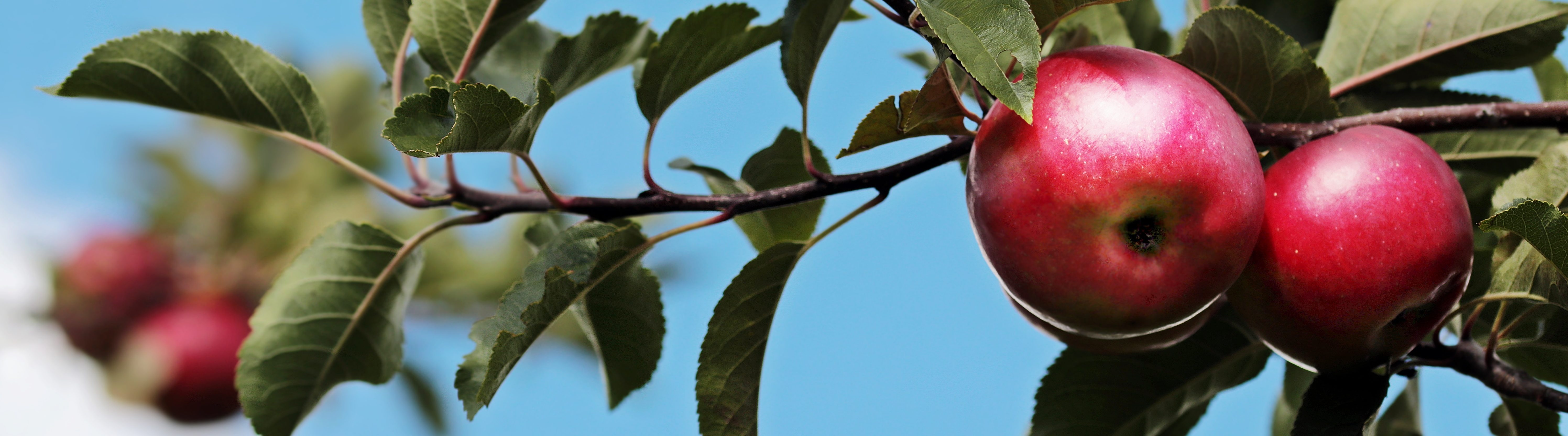 Close-up of red apples at a tree with the blue sky behind.