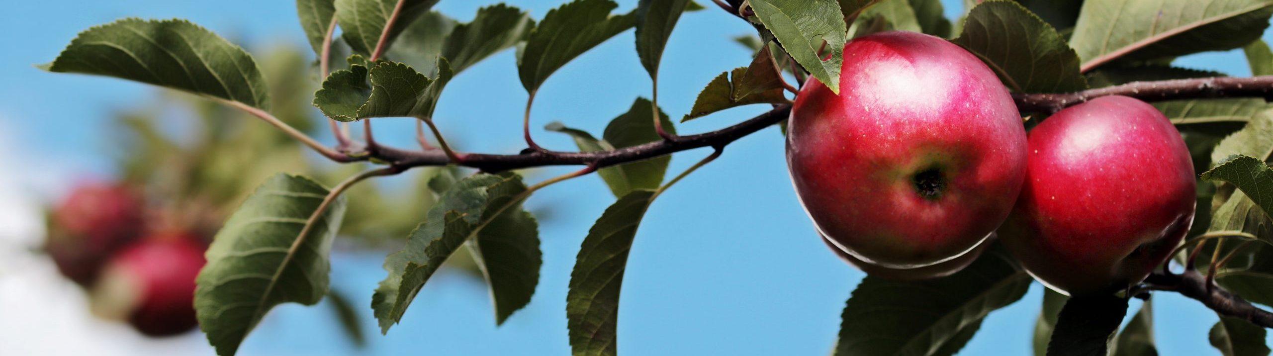 Närbild av röda äpplen som sitter på en grön gren mot en blå himmel.