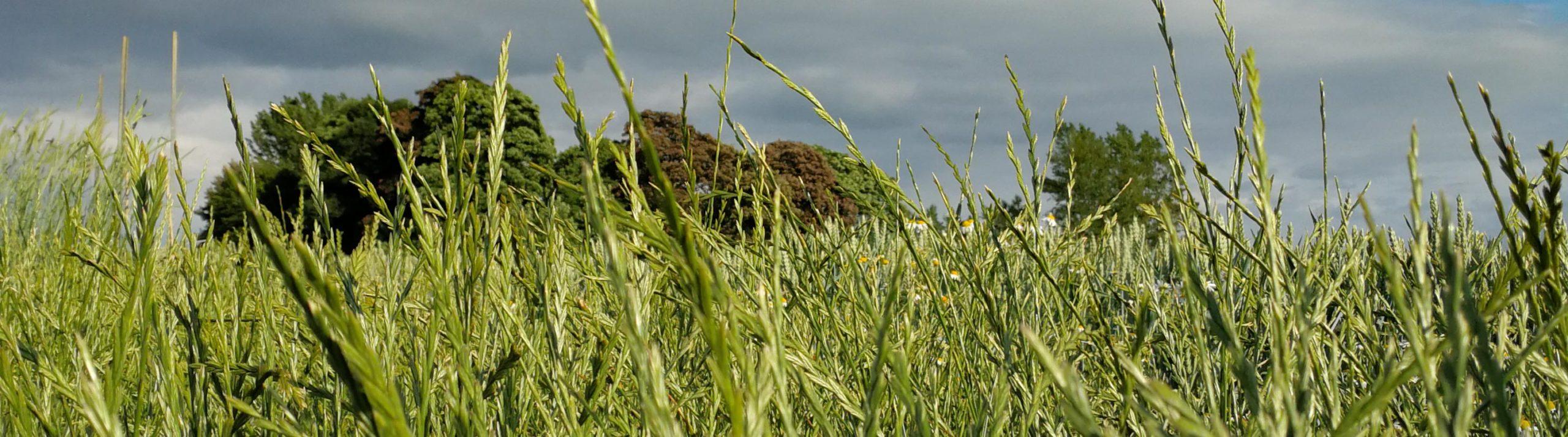 Rajgräs på ett fält med skog och en mörk himmel i bakgrunden.