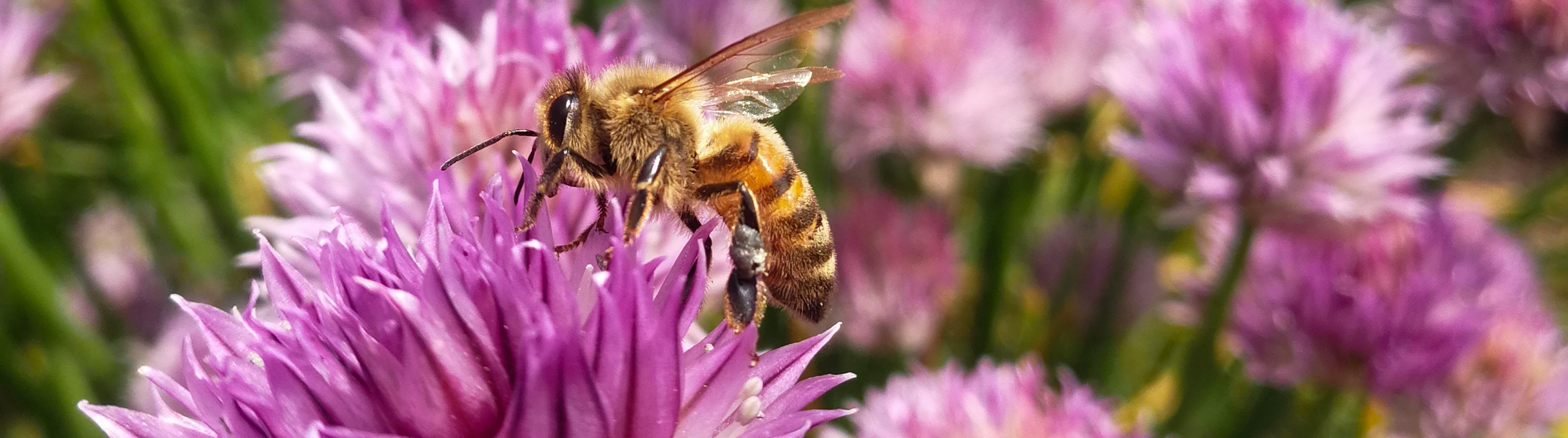 Närbild på ett bi som sitter på en gräslöksblomma i NordGens trädgård.
