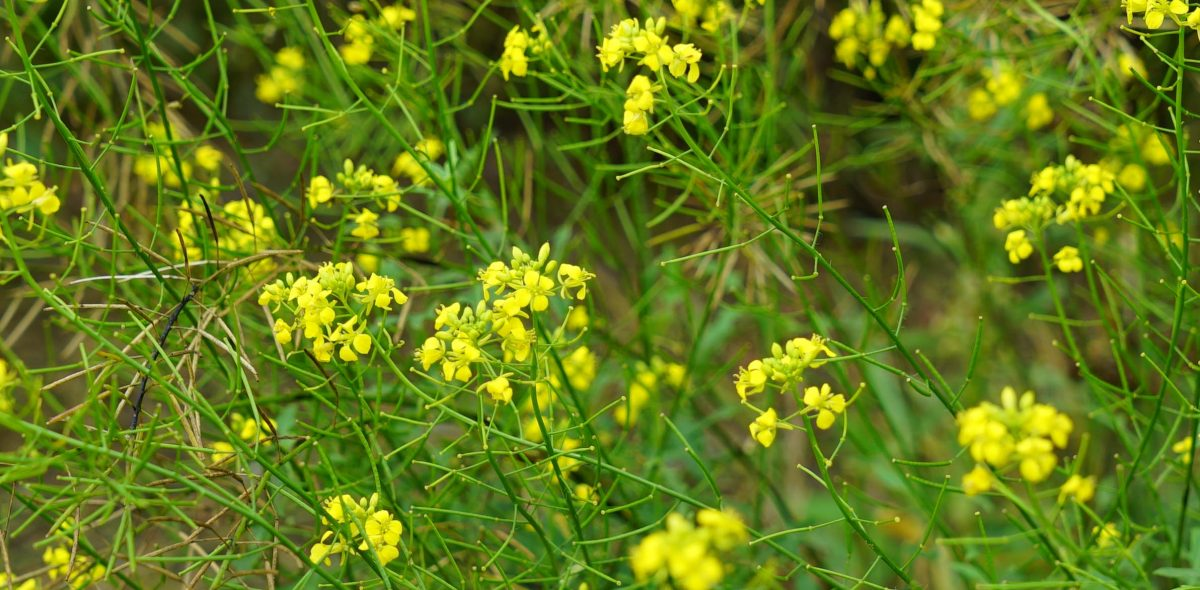 The crop wild relative rocket with yellow flowers.