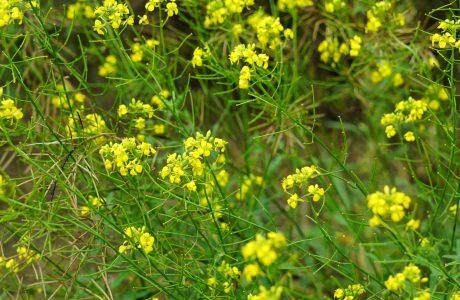 Bild på gula blommor med gröna stjälkar, sandsenap.