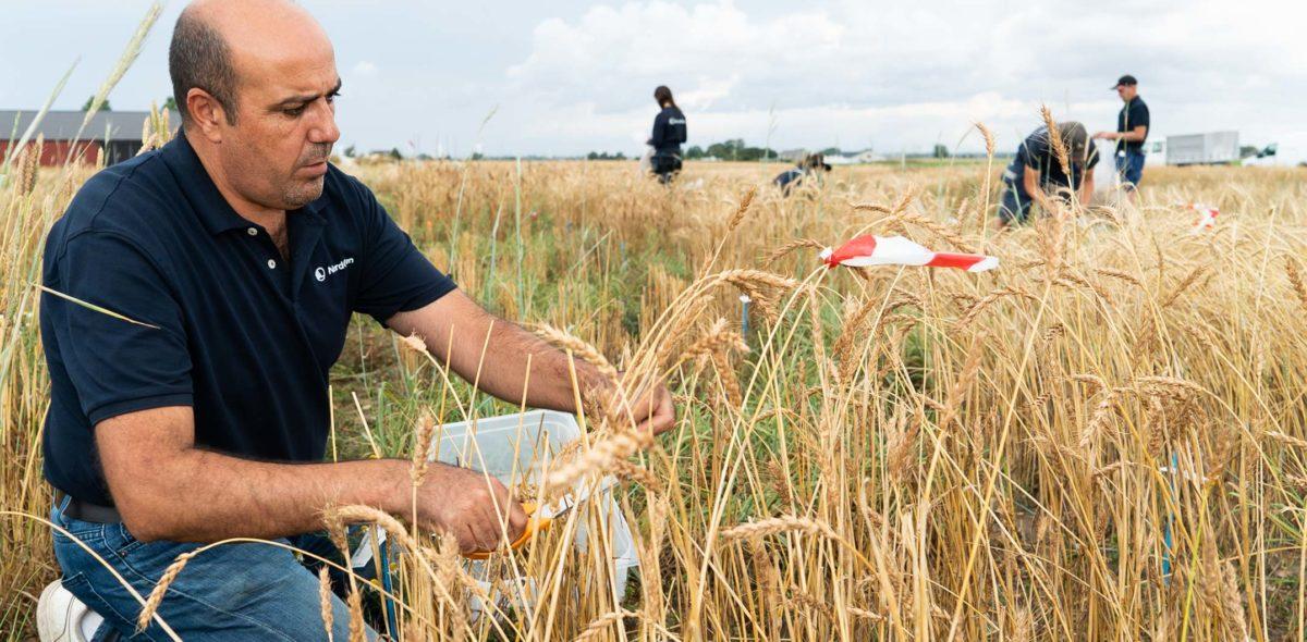 En man sitter på ett fält med spannmål och skördar ax med sax