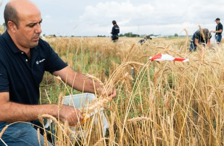 NordGen employee sitting on a field with cereals harvesting ears with a pair of scissors