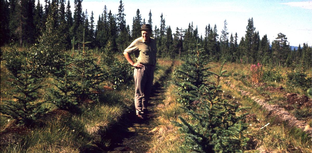 Man standing in a spruce plantation. Photo taken in 1971.
