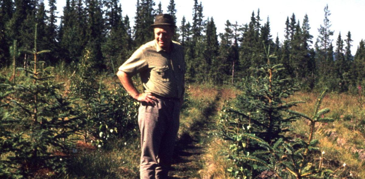 Man står i en plantering av sitkagran. Bilden är tagen 1971.