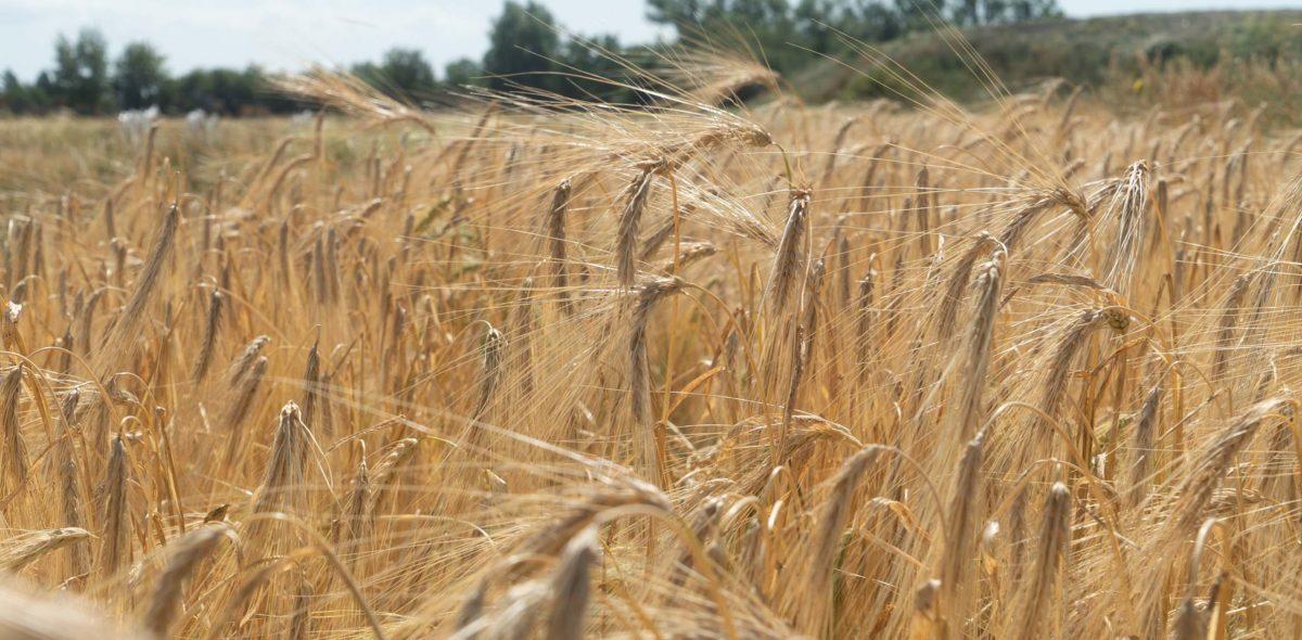 Ett fält med spannmål