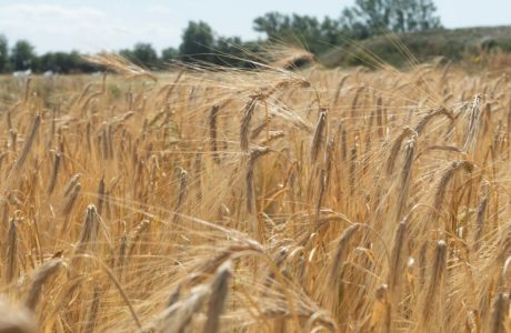 A field with cereals