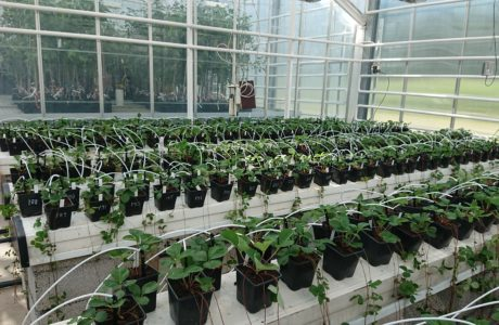 Rows of strawberry plants in a greenhouse.