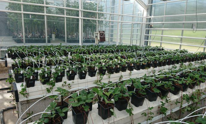 Rader av jordgubbsplantor i svarta krukor i ett växthus