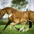 Two horses galloping on a green field