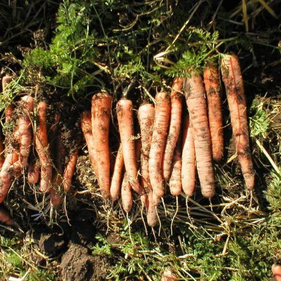 Friskplukkede gulerødder ligger på jorden