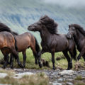 A group of horses running in a foggy landscape