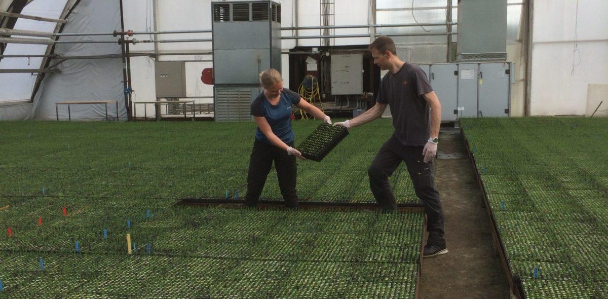 Två personer arbetar i ett växthus med skogsplantor