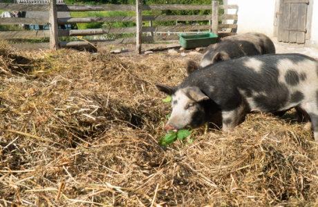 Kaksi mustavalkoista Linderödspossua syövät vihreitä lehtiä
