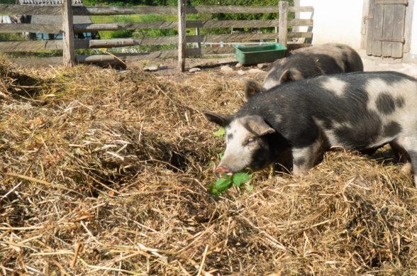 Två svartvita Linderödsgrisar står i en massa hö och äter på gröna blad.