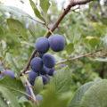 purple fruits growing on a tree