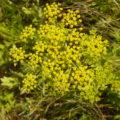 Closeup of yellow flowers