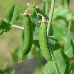Ärtväxt med grönna baljor