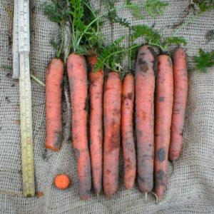 Orange morötter precis upp från marken