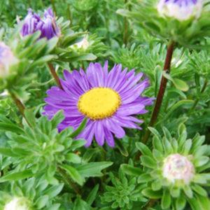 Blålila blomma