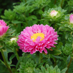 Rosafärgad asters