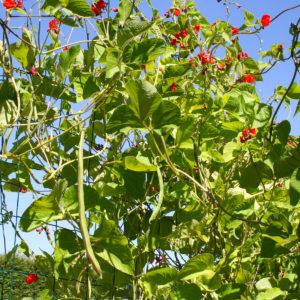 Störrosenböna med klarröda blommor