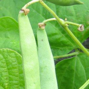 ârtbaljor på växt