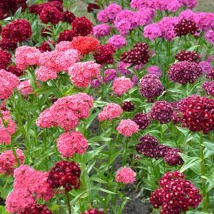 Rosa och röda blommor