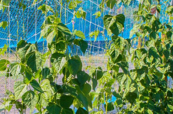Ett blått nät inklätt med gröna klättrande växter.