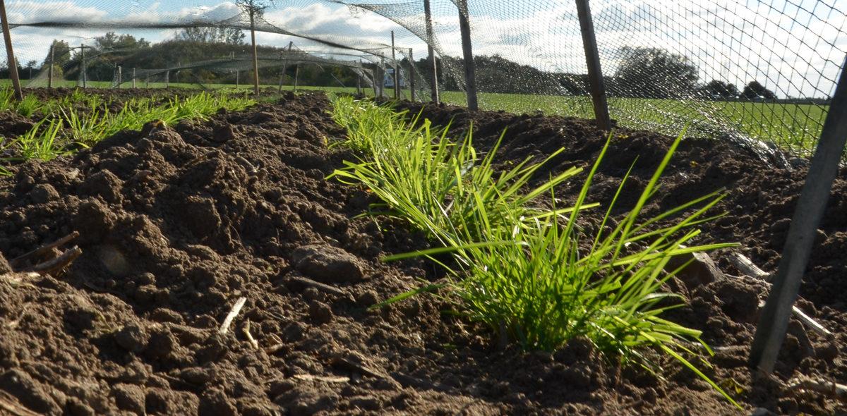 Nysått gräs i rader med brun jord mellan.