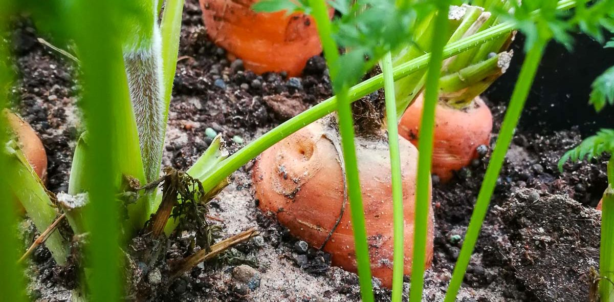 Close-up on a planted carrot