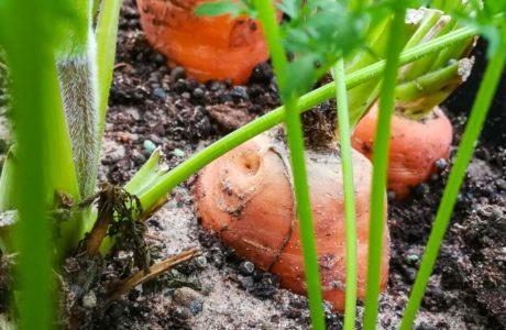 Närbild på en morot planterad i jord.