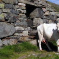 White cow standing in front of an ols building madeof rocks